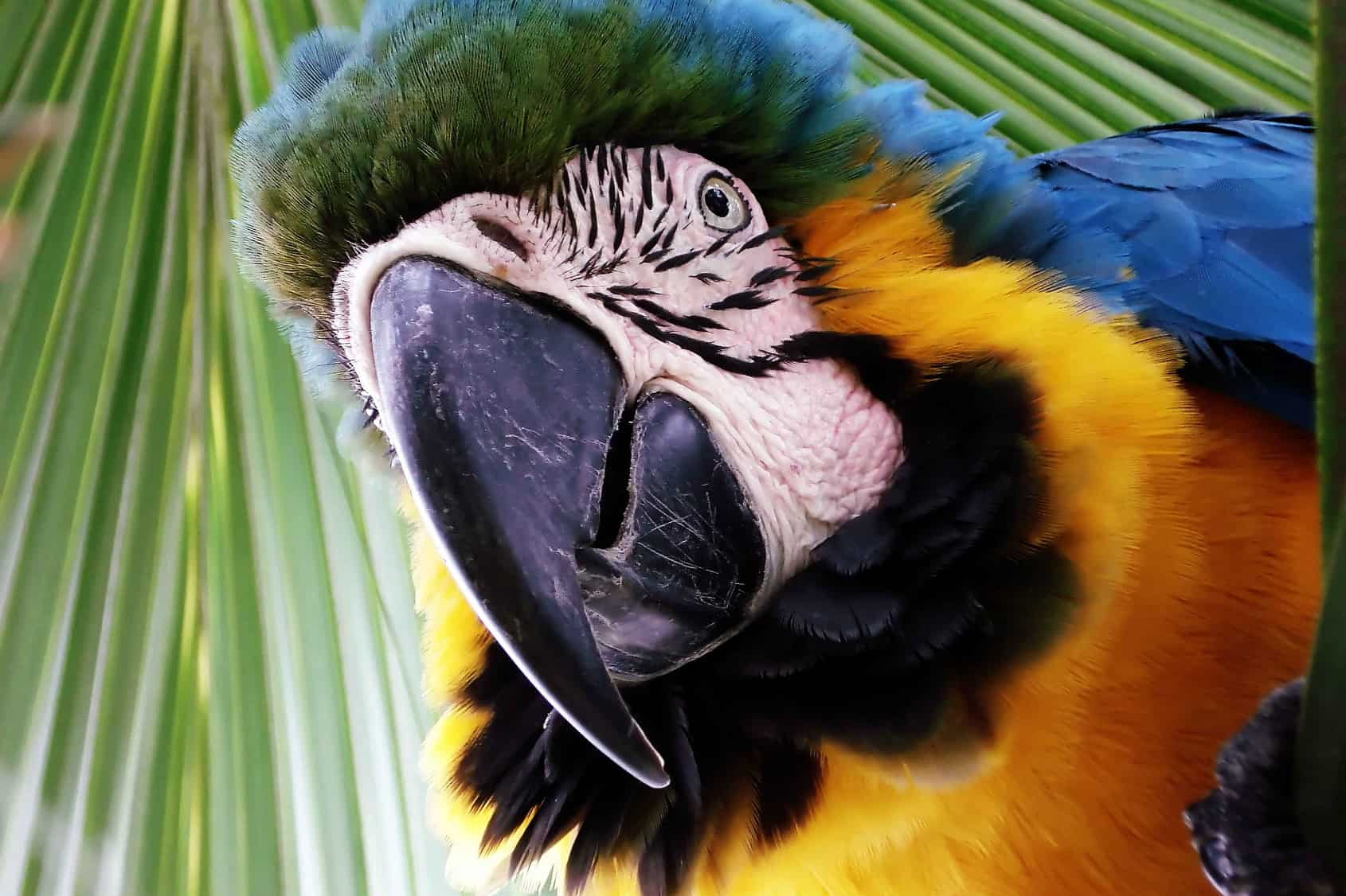 Guayusa Tea Jivaro - Colorful Parrot